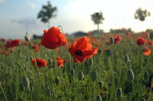 800px-Poppies_Field_in_Flanders