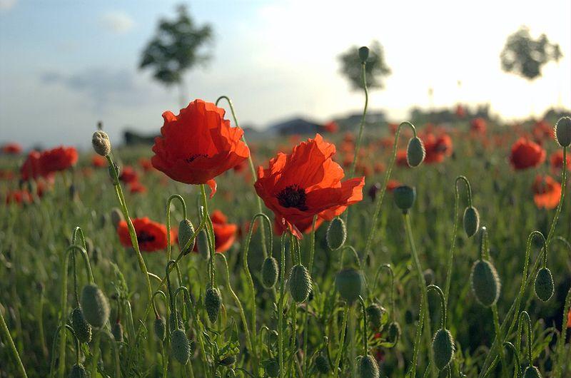800px-Poppies_Field_in_Flanders